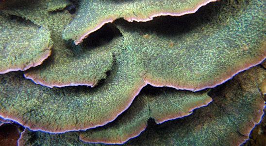 Les Montipora spp. offrent l'avantage d'une très grande variété de formes, qui leur confère en principe une bonne capacité d'adaptation à l'aquarium. On apprécie également la richesse de leur couleurs, comme l'illustre brillamment cette colonie contrastée. Photo : Hervé Rousseau