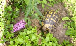 La tortue d'Hermann (ici, Testudo hermanni hermanni) est la « tortue de jardin » que tout le monde connaît.