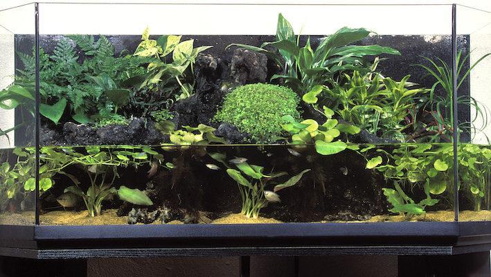 Si la partie terrestre de l'aquaterrarium est importante, sa partie aquatique n'est pas en reste. Selon les volumes, le choix des poissons sera bien différent.