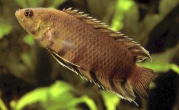 L'espèce la plus connue du genre est Microctenopoma ansorgii. Cependant, à cause d'un comportement timide et d'un manque de couleurs hors période de frai, elle attire peu d'amateurs. C'est dommage, car c'est tout de même un beau poisson. Photo : Aqua Press