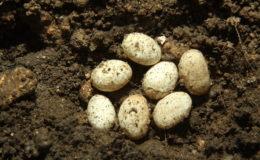 Dans la nature, les femelles choisissent un endroit dont l'humidité et la température sont adaptées à l'incubation de leurs œufs. Ici, un nid de lézard des murailles (Podarcis muralis) en Dordogne. Photo : G. Allain