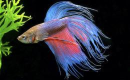 Ce mâle « Crown Tail » peut servir éventuellement à démarrer une lignée sur laquelle, petit à petit, on va corriger les éventuels défauts pour obtenir de magnifiques bettas. Photo : Aqua Press / Anthias