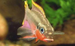 Certaines poissons réclament une eau dite « douce », c'est-à-dire présentant une dureté faible (aucun rapport, donc, entre l'opposition eau douce / eau de mer). C'est le cas notamment de Pelvicachromis taeniatus, un joli Cichlidé d'Afrique occidentale, comme ce mâle de la forme « Nigeria rouge ».