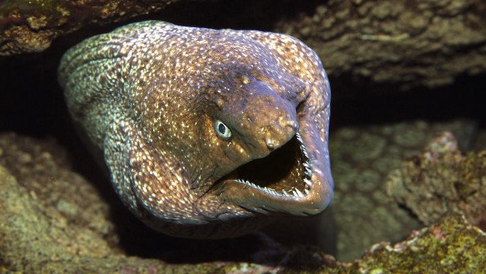 Muraena helena, une murène de la mer Mediterranée, fait partie des hôtes incontournables de la partie de l'Aquarium du Cap d'Agde illustrant la faune locale. La bête présente volontiers aux visiteurs sa denture bien fournie ! Photo : Aqua Press