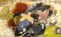 Vue de haut d'un petit aquarium marin hébergeant la faune des côtes du Finistère : bigorneaux et littorines, moules recouvertes de balanes, anémones chevalines et étoiles de mer (Asterias rubens). Photo : Stéphane Fournier