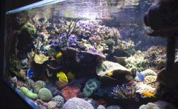 La profusion de coraux durs à grands polypes sur le sol de la cuve ne permet pas de se rendre compte que l'aquarium présente en fait un fond nu (« bare bottom » en anglais). Photo : Sabine Penisson