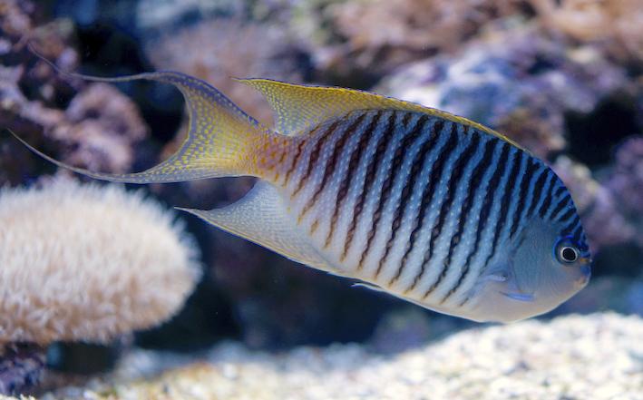 Genicanthus melanospilos, magnifique représentant du seul genre « garanti » reef-safe parmi les anges. Photo : Sabine Penisson