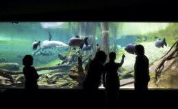 Dans la partie subaquatique du « Bosquet inondé » représentant un biotope amazonien, il est impossible de rater les énormes pirarucus (Arapaima gigas, un Ostoglosseidé), prédateurs piscivores, et les pacus (Colossoma macropomum), des Characoïdes omnivores, à tendance herbivore et frugivore. Photo : CosmoCaixa