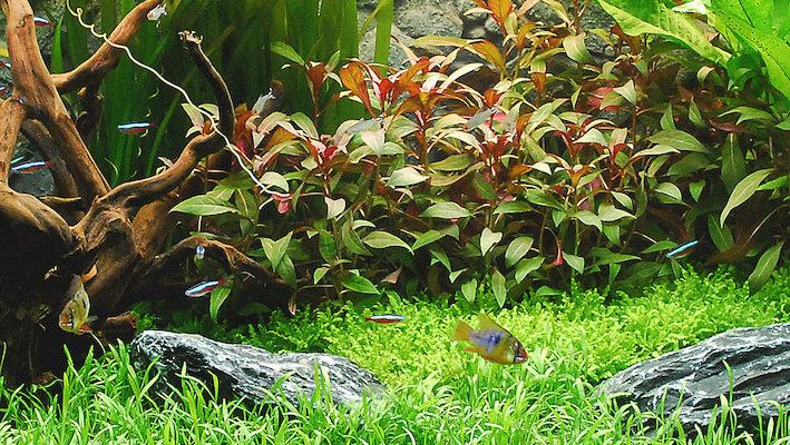 Maintenir les végétaux dans le temps peut s'avérer une opération délicate, notamment si les nutriments destinés à nourrir les plantes ne sont pas en quantité suffisante ou qu'ils sont déséquilibrés. Photo : Aqua Press