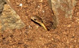 Le choix du substrat doit être soigneusement réfléchi en fonction des animaux qui vivront dans le terrarium. Un fouisseur (ici, Thamnophis sirtalis parietalis dans de la tourbe humide) ne peut être maintenu dans un substrat trop grossier ou abrasif. Photo : G. Allain