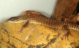 Beaucoup de reptiles, comme ce varan (Varanus acanthurus), se collent au substrat pour en recueillir la chaleur. Photo : G. Allain