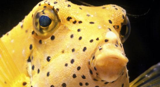 """Ce jeune Ostracion cubicus est malade : il est atteint des """"points blancs"""". Un bain long peut l'aider à lutter contre cette maladie. Photo : Aqua Press"""
