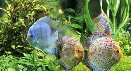 Nombreux sont les amateurs qui rêvent d'un bac géographique à discus, incluant autres poissons (ici un banc de cardinalis, Paracheirodon axelrodi) et plantes à profusion. Toutefois, cela demande une cuve d'au moins 600 litres et une installation en conséquence. Photo : Aqua Press