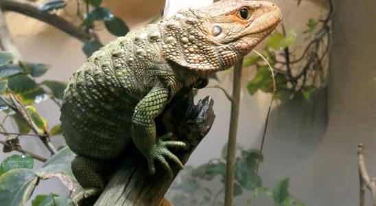 À Alligator Bay des terrariums bioclimatiques ont récemment été installés dans des espaces immenses de 20 m² en moyenne. Ils reconstituent à l'identique et dans les moindres détails l'écosystème et les conditions météorologiques de la zone géographique concernée, avec leurs variations journalières et saisonnières. Chaque jour, les reptiles voient le lever et le coucher du soleil et même le clair de lune, profitent de la rosée du matin, subissent des pics de chaleur quand le soleil est au zénith, la pluie, la brume en fin de journée, le vent. Les terrariums bioclimatiques ne nécessitent pratiquement pas d'intervention humaine, hormis l'apport de nourriture et le nettoyage des vitres. Rapidement, les effets de ces terrariums se sont montrés bénéfiques. Des bébés lézards d'Haïti ont été découverts un matin qui avaient éclos naturellement. Un varan blessé depuis près d'un an a guéri spontanément alors qu'aucune cicatrisation n'avait été observée jusque-là malgré les nombreux traitements et opérations. Notre photo : dans cette exubérante mangrove d'Alligator Bay, six Dracaena guianensis ont retrouvé leur rythme d'activité naturel. Celui-ci s'expose au crachin apporté par la brumisation. Photo : N. Maury — Alligator Bay
