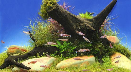 Un groupe d'une quinzaine de Notropis chrosomus dans un grand bac est un spectacle magnifique. Photo : Aqua Press