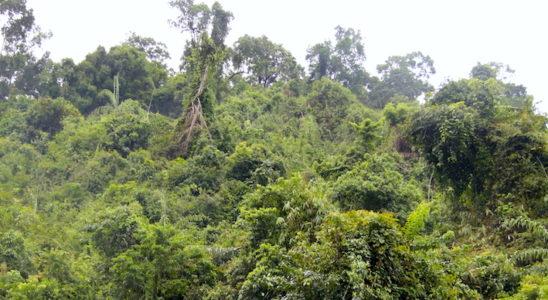 Jungle du Sud-Viêt-nam, avec végétation très dense ! Ici dans la région de Hon Ba.