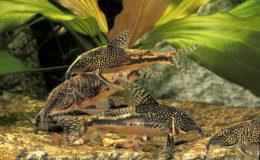 À l'instar des Corydoras, les Scleromystax apprécient la vie en groupe (ici, S. barbatus). Mais attention : chez ce genre, les combats entre mâles sont particulièrement virulents, pouvant conduire à la mort d'un des protagonistes. Photo : Aqua Press / Planète des Animaux