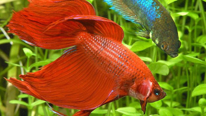 Dans un grand bac planté, mâle et femelle combattant du Siam (Betta splendens) peuvent éventuellement se côtoyer. Toutefois, les blessures et les morceaux de nageoires arrachés ne sont pas rares. Photo : Aquapress