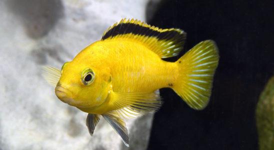 Selon les formes géographiques (voire d'élevage) ou l'état d'excitation de Labidochromis caeruleus, le contraste entre le corps jaune citron et la bande noire de la dorsale est particulièrement intense. Photo : Aqua Press / Poisson d'Or
