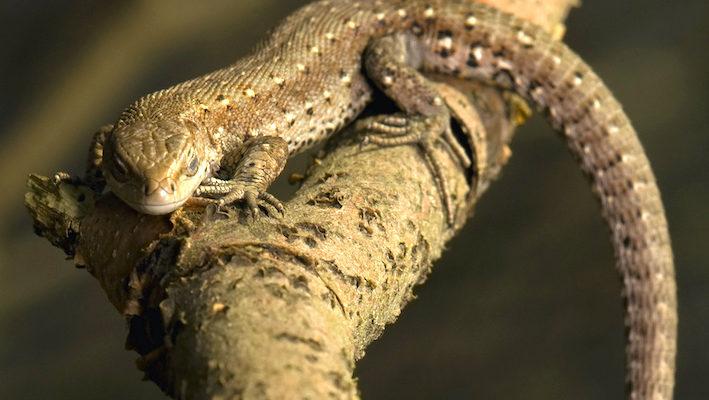 Zootoca vivipara est vivipare dans le nord de sa zone de répartition et ovipare dans le sud (voir encadré). Photo : Gucio 55- Fotolia