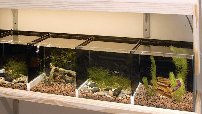 On distingue ici « l'étagère à bettas » terminée. Avec un peu de bricolage, on peut réaliser cette construction astucieuse qui permet un gain de place bien appréciable… Photo : Aqua Press
