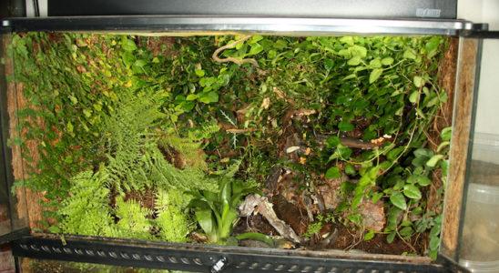 Un terrarium planté pour dendrobates est toujours un petit joyau. Photo : G. Allain