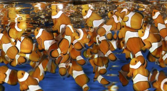 La maîtrise de la reproduction des poissons d'aquarium marin est intimement liée à la maîtrise de l'alimentation des larves et plus encore à l'alimentation des proies destinées aux larves. Photo : Aqua Press