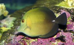 Zebrasoma scopas herbivore, comme c'est le cas pour de nombreux poissons-chirurgiens. Photo : Aqua Press