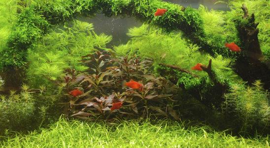 Un aquarium harmonieux et bien équilibré est le souhait de tout amateur. Mais l'apparition d'éléments perturbateurs peut vite ruiner le tableau idyllique qui se construisait. Heureusement, dans bien des cas, il existe des parades faciles à mettre en place. Photo : Aqua Press (Tropica)