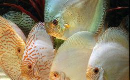 Un port altier et une attitude peu farouche sont des signes de bonne santé pour ces discus d'élevage (Symphysodon aequifasciata). Photo : Aqua Press (Poisson d'Or)