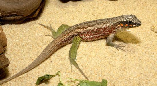 Leiocephalus personatus est un petit iguane des déserts de Saint-Domingue, dans les Caraïbes. Un substrat de sable est parfaitement adapté à son élevage. Photo : G. Allain