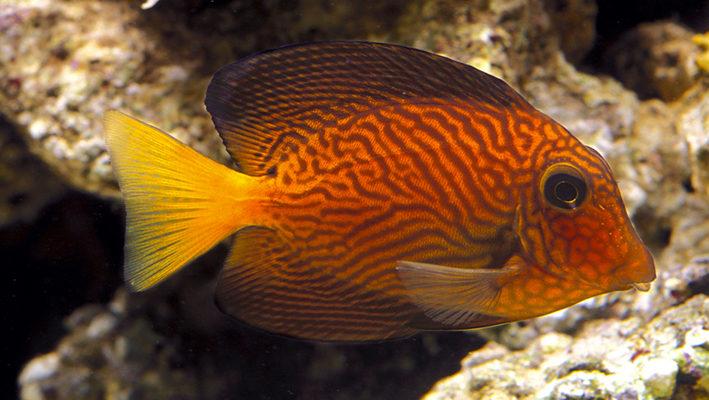 La livrée juvénile de Ctenochaetus hawaiiensis présente un contraste remarquable entre l'orange et le bleu : elle est assurément à l'origine de son succès ! Photo : Aqua Press