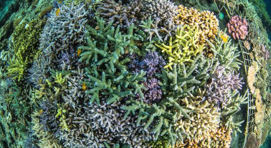 Un récif en bonne santé, transplanté il y a 3 ans. Photo : Coral Guardian / Martin Colognoli