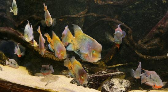 Un peu moins de deux ans après la mise en route, les poissons sont adultes et hauts en couleurs