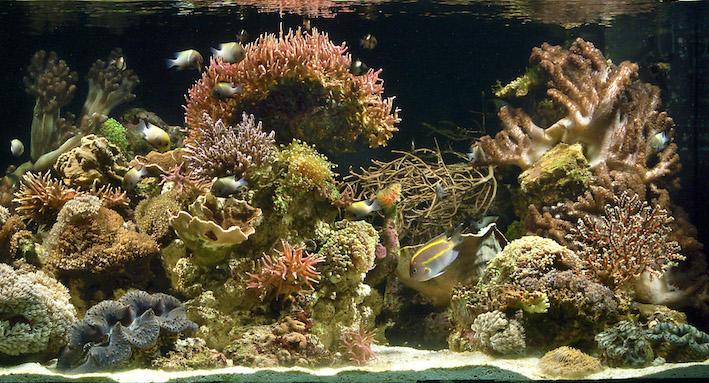 L'aquarium marin et récifal à progressé d'années en années. Il est temps de faire un modeste compte-rendu de ce qui représente aujourd'hui de véritables progrès. Photo : Aqua Press