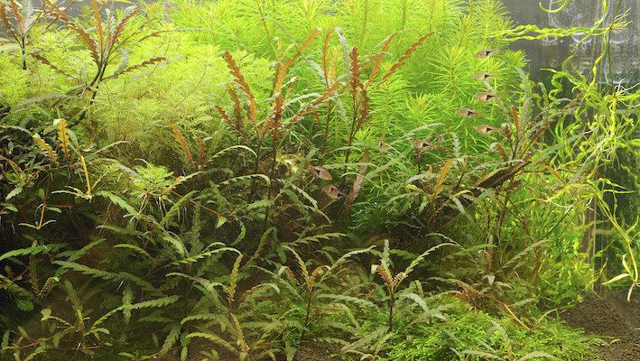 Myriophyllum matogrossense apporte une touche de finesse exceptionnelle dans l'aquarium planté. Pour renforcer son esthétique, on la dispose plutôt à l'arrière-plan ou éventuellement en zone intermédiaire. Photo : Aqua Press (Tropica)