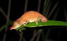 Pour la plupart des terrariophiles, les caméléons sont l'emblême de Madagascar. Ici, Calumma gallus femelle.