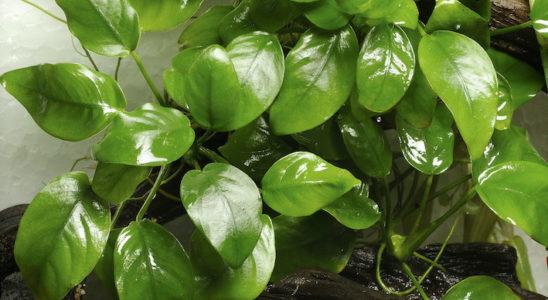 Nul besoin de beaucoup de place pour créer un aquaterrarium. Par contre, dans ce cas, les plantes évoluant dans la partie terrestre doivent être de petite taille. Ici, il s'agit d'Anubias barteri var. nana qui colonise l'extérieur ! Photo : Aqua Press