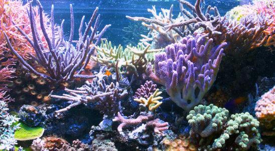 Un aquarium récifal en bonne santé devient très vite un florilège de colonies abondantes, qu'il faut envisager de cultiver en les bouturant. Photo : Christian Seitz