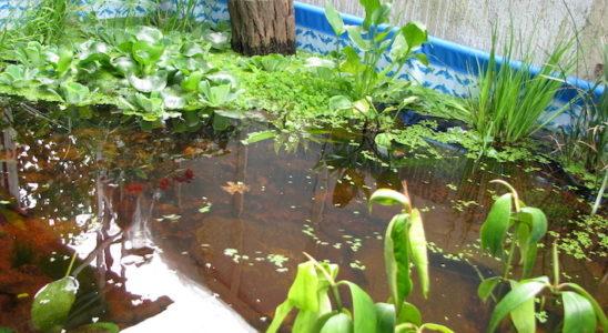 Cette piscine transformée est devenue le havre d'été de poissons tropicaux ! Grâce à son volume, il y a une inertie thermique qui va empêcher les brusques changements de température. Photo : Marc Bocobza