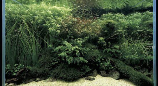En aquascaping, on se préoccupe plus de l'harmonie des poissons avec le décor que de l'esthétique des poissons eux-mêmes. Ici, ce discret banc d'Aplocheilichthys normani se fond dans le paysage. Photo : Takashi Amano