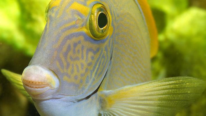 Comme cet Acanthurus xantopterus à l'expression gourmande, les poissons apprécient une alimentation équilibrée et régulière. Les distributeurs automatiques sont une solution intéressante pour ce qui concerne la régularité. Les vacances annuelles sont aussi une bonne raison pour investir dans cet équipement de confort utilisable au quotidien. Photo : Aqua Press – Poisson d'or