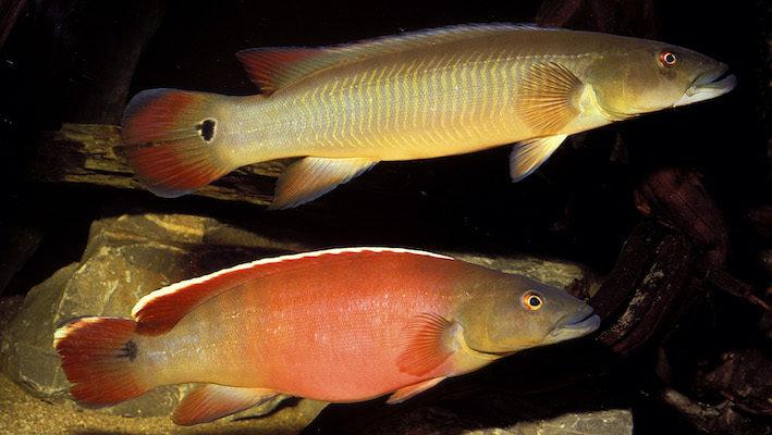 La filtration ne se résume pas seulement au nettoyage de l'aquarium. Elle permet aussi, grâce à son débit, de recréer les conditions nécessaires à certains poissons qui peuvent préférer des eaux calmes ou des eaux à fort courant comme Crenicichla sp. « Xingu I », un Cichlidé rhéophile… et plutôt gros mangeur ! Un filtre extérieur de grande taille se révèle alors une bonne option, grâce à son volume et sa puissance adaptés. Photo : Aqua Press