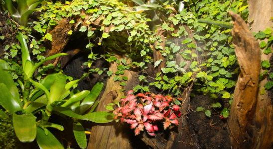 Nul besoin de multiplier les plantes colorées pour donner du pep à son décor. Ici, un cultivar rouge de Fittonia sp. suffit à attirer le regard, il est mis en valeur par les couleurs sobres de Ficus pumila 'Quercifolia' et d'une broméliacée (probablement Neoregelia sp.). Photo : G. Allain