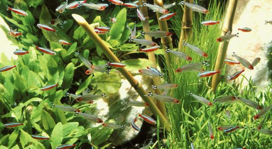 L'aquarium amazonien héberge habituellement des poissons et des végétaux préférant une eau douce et acide. Comment faire cependant, lorsque l'on habite une région où la dureté est particulièrement élevée ? L'emploi d'un osmoseur, qui va produire une eau très douce, se révèle alors fort utile. Photo : Aqua Press