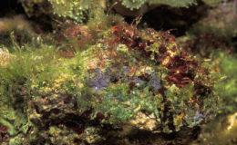 Les zones exposées des pierres vivantes à la lumière se recouvrent d'algues divers que l'on nomme « turf». Ces alogues sont appréciées par les poissons herbivores pour leur apport en nutriments. Photo : Aqua Press