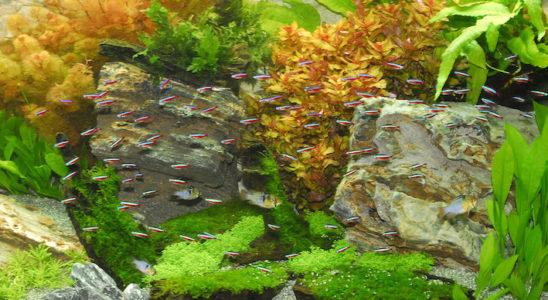 Un aquarium communautaire harmonieux aide à réduire le stress. L'harmonie est basée principalement sur une origine géographique et surtout une qualité d'eau proches. Le comportement joue aussi un rôle primordial : la population de cardinalis (Paracheirodon axelrodi) est suffisante pour que ces Characidés se sentent en sécurité. De plus, ils n'ont pour seuls compagnons que quelques ramirezis (Mikrogeophagus ramirezi), peu agressifs et assez nombreux pour éviter qu'un individu soit persécuté par ses compagnons, notamment en période de reproduction. Photo : Aqua Press / Juwel