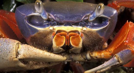 Le crabe violet, Cardisoma armatum, est fréquemment vendu sous le nom de crabe d'eau douce… Il préfère en fait l'eau saumâtre et, surtout, c'est d'avantage une espèce terrestre même s'il fréquente bien sûr le milieu aquatique. Photo : Aqua Press