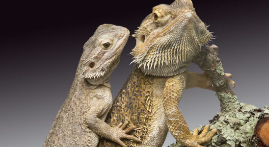 Les amateurs débutants, et parfois plus expérimentés, apprécient de pouvoir sexer les animaux qu'ils détiennent. Pour certaines espèces la différenciation est simple, pour d'autres il faut être observateur et parfois se munir d'outils et de savoir-faire. Photo : Aqua Press