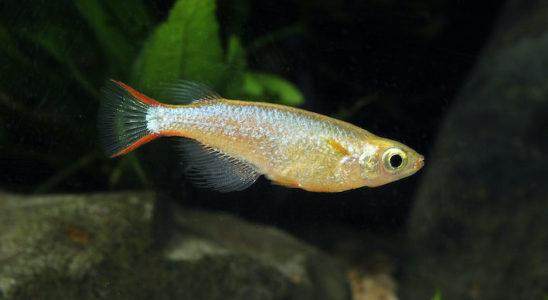 Un jeune mâle de 3 cm. Les liserés rouges qui bordent la caudale sont les indices les plus visibles pour le distinguer de la femelle. Les rayons mous des nageoires dorsale et anale sont longs et souples, et le corps est irisé de bleu.